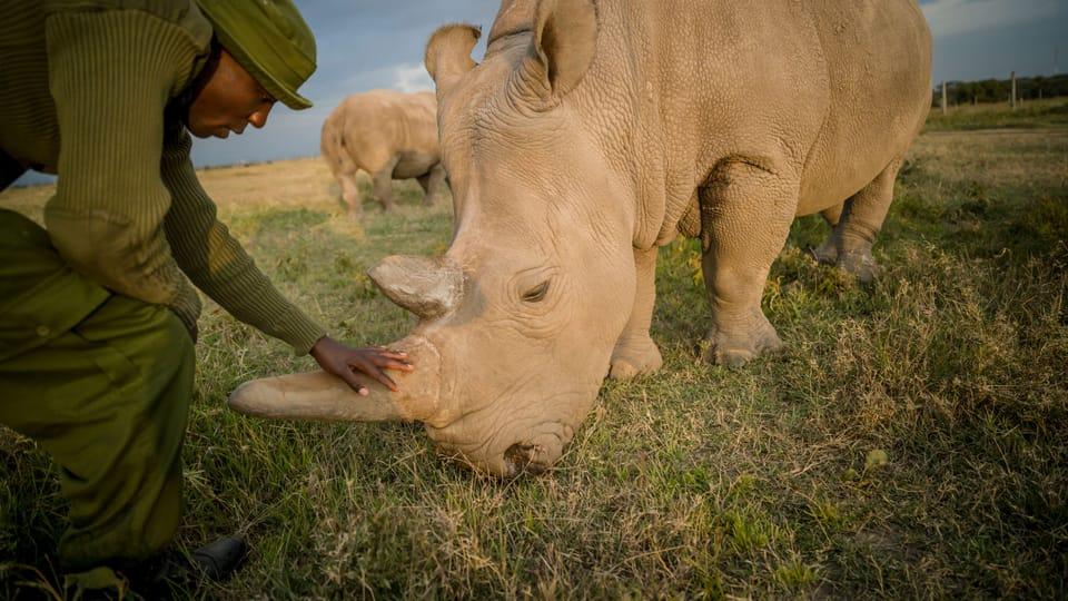 Northern white rhino keeper,  James Mwenda,  checks on Najin,  one of the last two northern white rhino on the planet,  photo: Ami Vitale